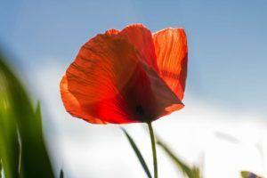 poppy - Inloophuis Camino (Werk en Kanker) - Stichting Optimale Ondersteuning bij Kanker